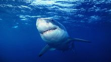 Shark Week: lo squalo bianco programma