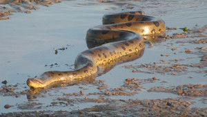 Largest snake on Earth? photo