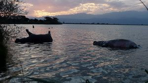 Mysterious Hippo Deaths photo