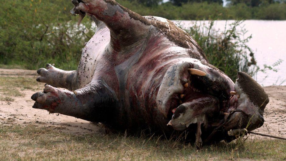 Mysterious Hippo Deaths Photos - Cannibal Hippos ...