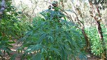 Marihuana emisija