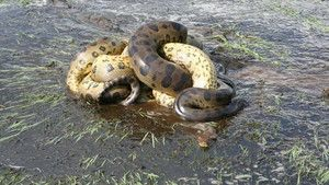 Anaconda photo