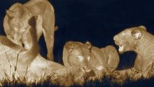 Ночные кошки программа