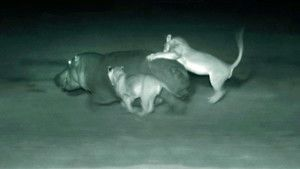 Nocturnal Cats photo