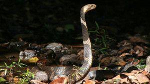 Le cobra royal photo