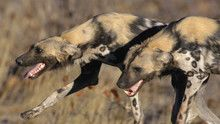Sürü: Vahşi Köpekler SAYFAYA GİT