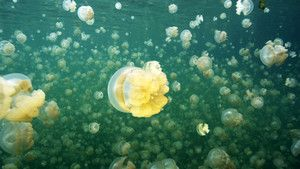 Golden Jellyfish photo