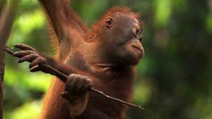 Borneo .