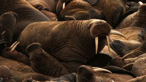 Walrus Foto