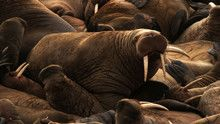 Walrus show