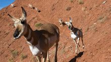 Pronghorn show