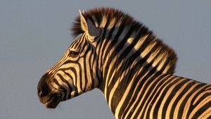 Zebra&#039;s Foto