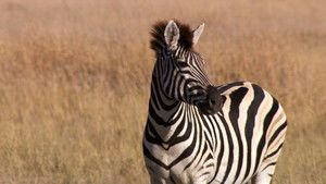 Zebraer Billed