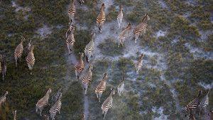 Zebraer Billed