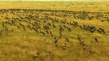Wildebeest show