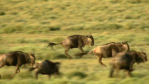 Wildebeest () 