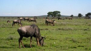 Wildebeest photo