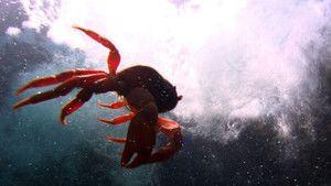 Den røde krabbe Billed