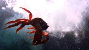 Krab červený fotografie