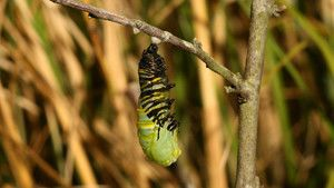 Monarch Butterflies photo