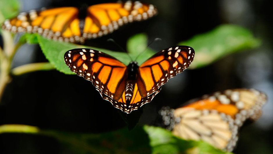 Monarch Butterflies Photos - Great Migrations - National ...