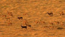 Kob antilopa emisija