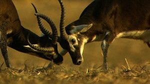 Kob antilopa .