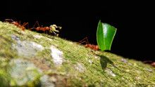 Army Ants show