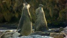 Elephant Seals show