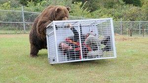 Face à l'ours photo