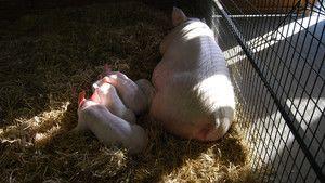Des cochons très sauvages photo
