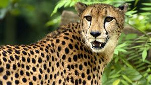 Guépard photo