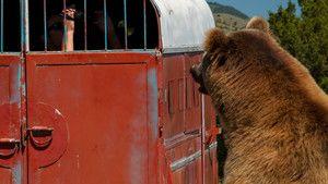 Dans la gueule du grizzli photo