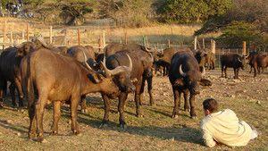 Buffalo Savaşçısı fotoğraf