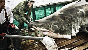 כרישים לבנים תמונה