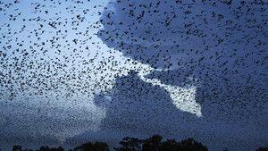 עטלפי פירות תמונה
