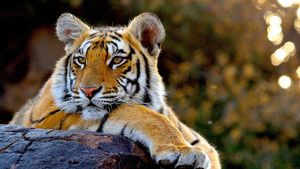 Portraits de tigres photo