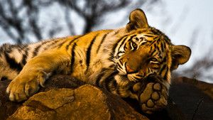 Tigrisportrék fotó