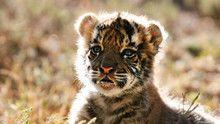 Тигрята программа