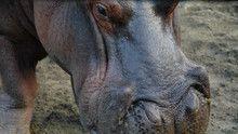 Cocaine Hippos show