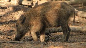 Feral Pig Plague photo
