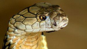Deadly Snakes photo
