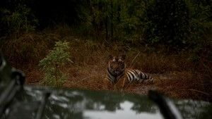 Tigrisek nyomában fotó