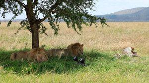 Lion Stalker photo