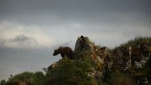Bear Nomad show