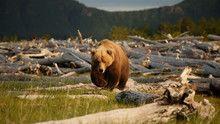 Alaskan Bears show