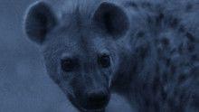 Hyena Gangs show