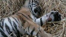 Orvvadászok és tigriscsempészek film