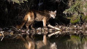 Cougar photo