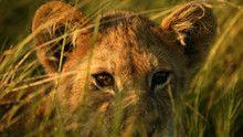 Leeuwen in Okavango Programma